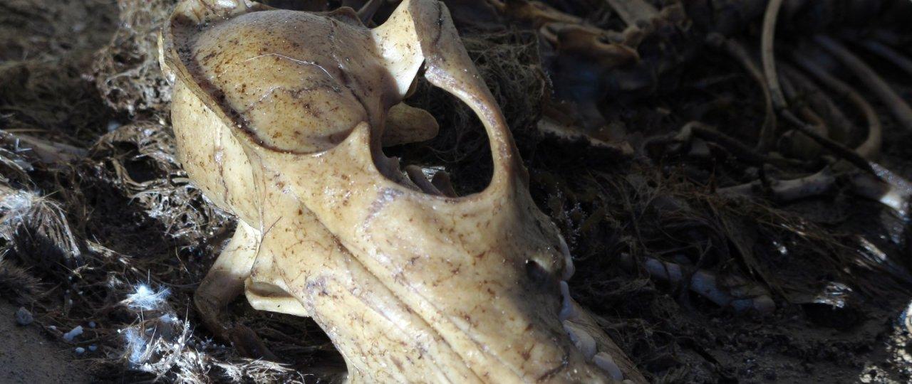 Crâne de renard
